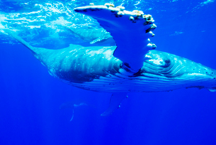 青い海を泳ぐザトウクジラの写真素材 [FYI01504781]