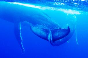 親子のザトウクジラの写真素材 [FYI01504800]