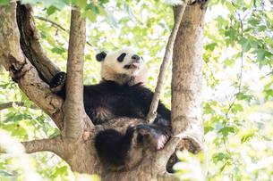 木に登る1頭のパンダの写真素材 [FYI01504801]