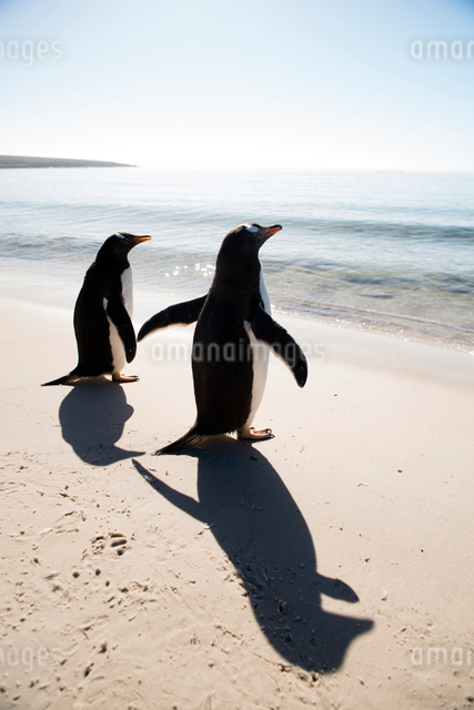 砂浜のジェンツーペンギンと影の写真素材 [FYI01504806]