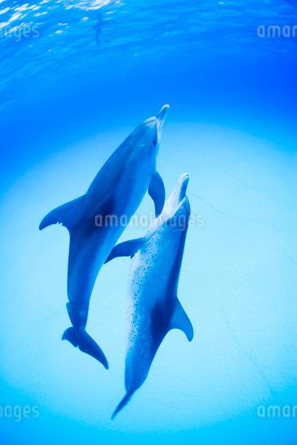 青い海、白砂の中を泳ぐ2頭のイルカの写真素材 [FYI01504811]