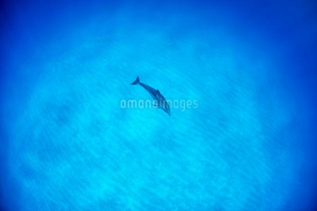 白い砂浜とタイセイヨウマダライルカの写真素材 [FYI01504831]