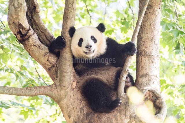 木に登る1頭のパンダの写真素材 [FYI01504890]