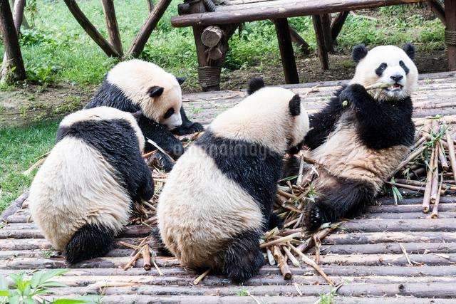 笹を食べる4頭のパンダの写真素材 [FYI01504892]