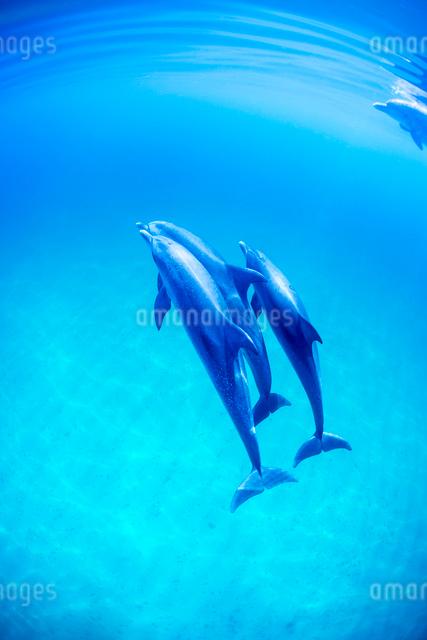 穏やかな海とタイセイヨウマダライルカの写真素材 [FYI01504900]
