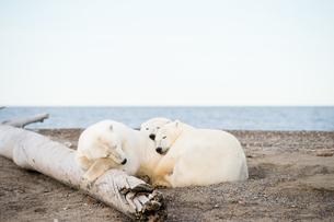 昼寝するシロクマの親子の写真素材 [FYI01504924]