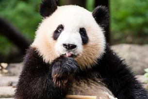 1頭のパンダの写真素材 [FYI01504929]