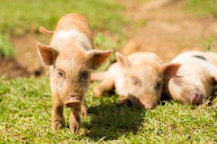 3頭の子豚の写真素材 [FYI01504937]