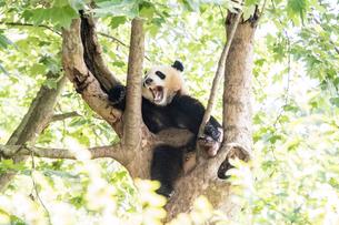 木に登る1頭のパンダの写真素材 [FYI01504945]