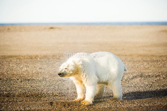 海上がりのシロクマの写真素材 [FYI01504954]