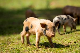 子豚の写真素材 [FYI01504956]