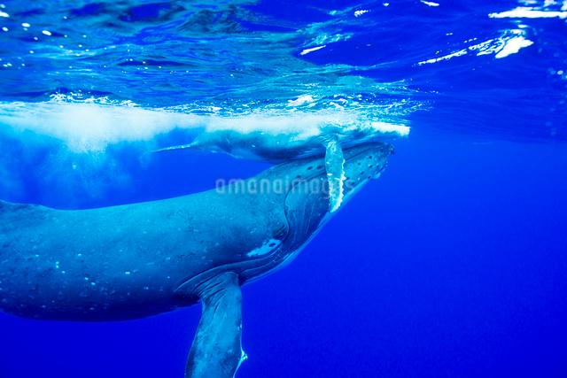 青い海を泳ぐザトウクジラの親子の写真素材 [FYI01504957]