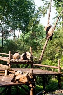 複数のパンダの写真素材 [FYI01504962]