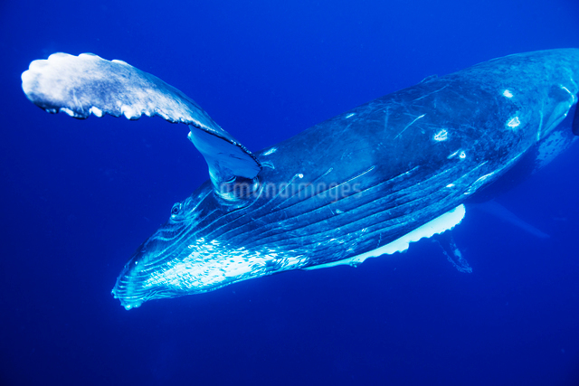 青い海を泳ぐザトウクジラの写真素材 [FYI01504977]
