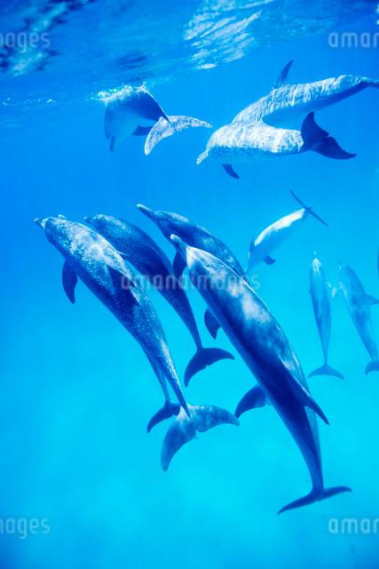 タイセイヨウマダライルカの群れの写真素材 [FYI01504980]