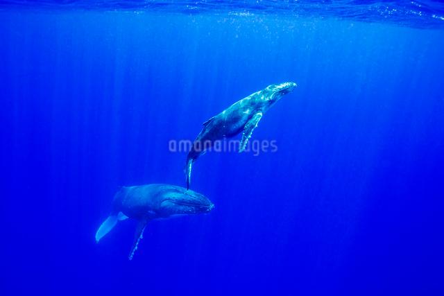 青い海を泳ぐザトウクジラの親子の写真素材 [FYI01504984]