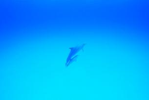 青い海とイルカの親子の写真素材 [FYI01504999]