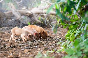 3頭の子豚の写真素材 [FYI01505017]