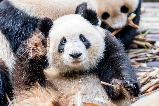 パンダの写真素材 [FYI01505023]
