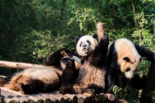 3頭のパンダの写真素材 [FYI01505024]