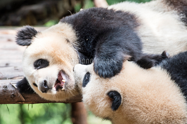 2頭のパンダの写真素材 [FYI01505040]
