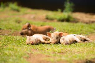4頭の子豚の写真素材 [FYI01505042]