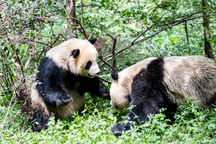 2頭のパンダの写真素材 [FYI01505044]