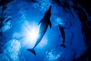青い海とタイセイヨウマダライルカのシルエットの写真素材 [FYI01505048]
