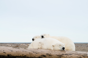 昼寝するシロクマの親子の写真素材 [FYI01505050]