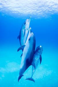 水面へと泳ぐ3頭のイルカの写真素材 [FYI01505072]