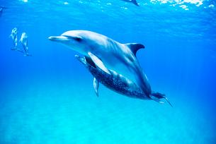 泳ぐタイセイヨウマダライルカの写真素材 [FYI01505073]