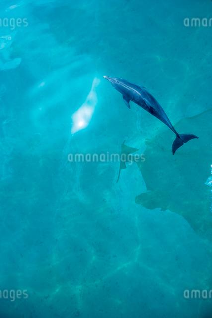 船の上から見るタイセイヨウマダライルカの写真素材 [FYI01505093]