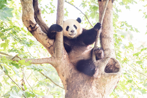 木に登る1頭のパンダの写真素材 [FYI01505100]
