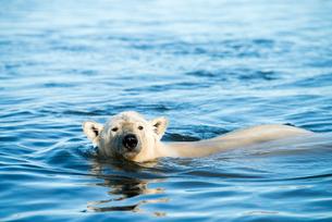 泳ぐシロクマの写真素材 [FYI01505105]