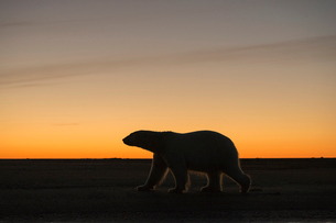 夕暮れとシロクマの写真素材 [FYI01505123]