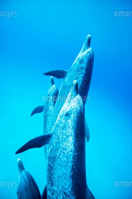タイセイヨウマダライルカの群れの写真素材 [FYI01505124]