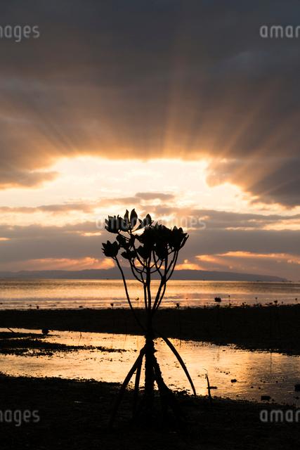 マングローブと夕焼けの写真素材 [FYI01505129]