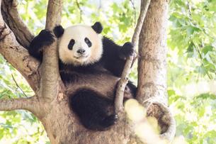木に登る1頭のパンダの写真素材 [FYI01505135]
