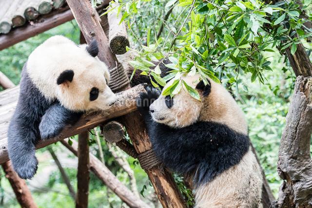 2頭のパンダの写真素材 [FYI01505136]