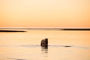 夕暮れの北極海とシロクマの写真素材 [FYI01505144]