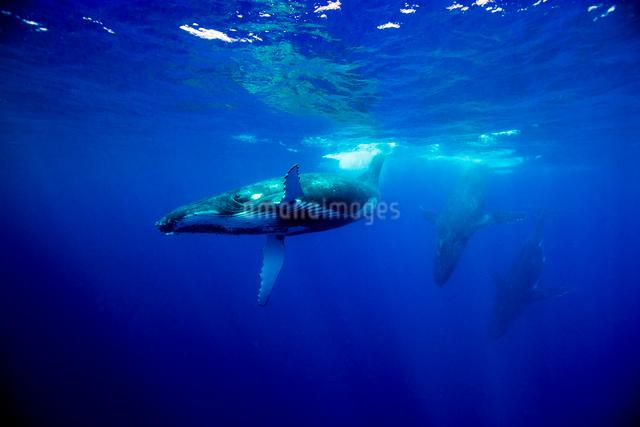 3頭のザトウクジラの写真素材 [FYI01505150]