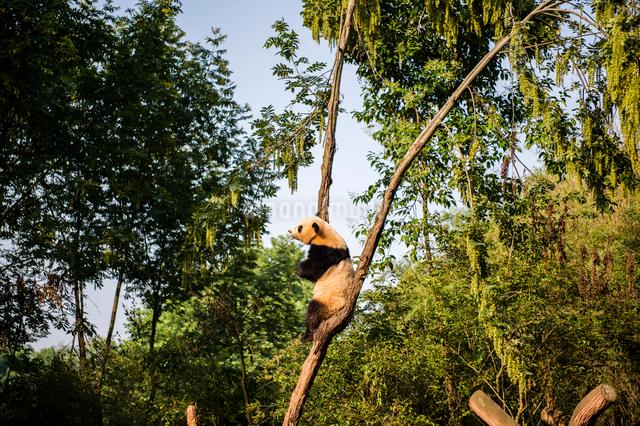 木に登る1頭のパンダの写真素材 [FYI01505153]
