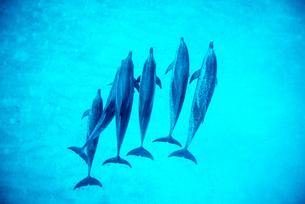 タイセイヨウマダライルカの群れの写真素材 [FYI01505154]
