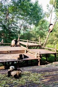 複数のパンダの写真素材 [FYI01505164]