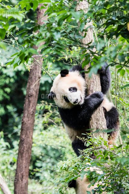 木に登る1頭のパンダの写真素材 [FYI01505165]
