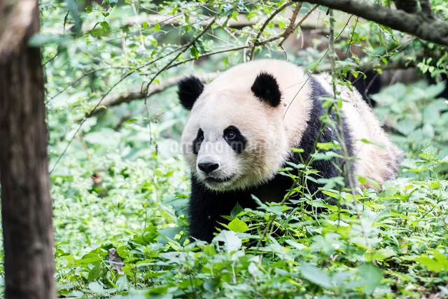 歩く1頭のパンダの写真素材 [FYI01505167]
