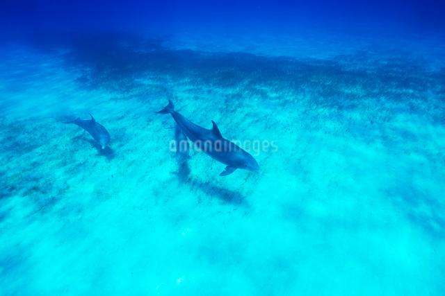 青い海を泳ぐイルカの写真素材 [FYI01505169]