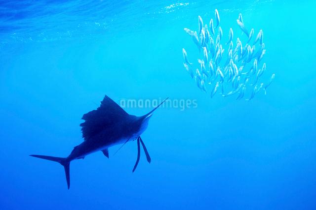 捕食するバショウカジキと逃げるイワシの群れの写真素材 [FYI01505175]