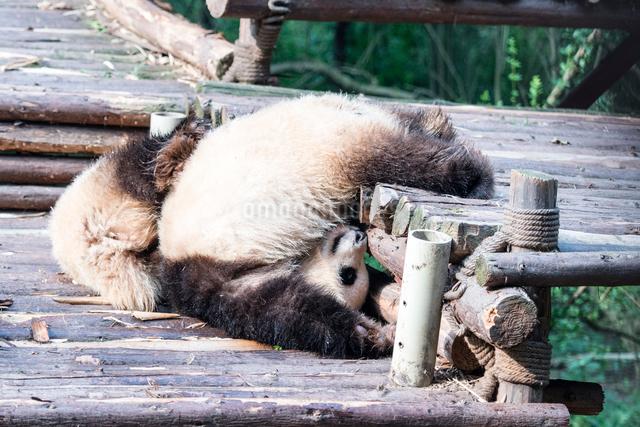 遊ぶパンダの写真素材 [FYI01505185]