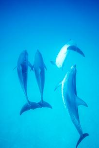 泳ぐタイセイヨウマダライルカの写真素材 [FYI01505187]